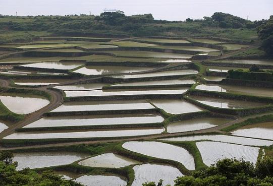 Wiosenne pola ryżowe