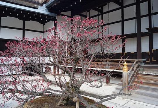 Ume w Kioto zwiastują wiosnę