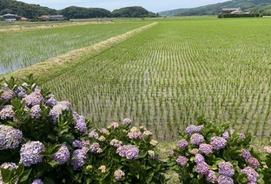 Pola ryżowe i hortensje w prefekturze Yamaguchi
