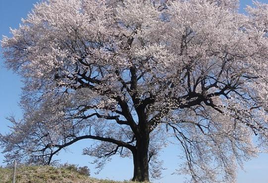 Kwitnące wiśnie w Yamanashi